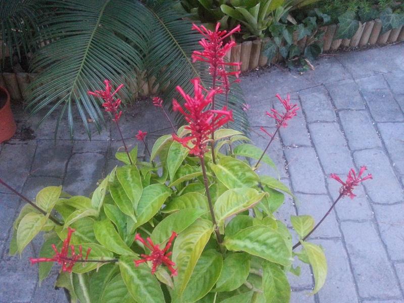 Odontonema strictum, chaque année, elle décore l'automne dans mon jardin 20131111