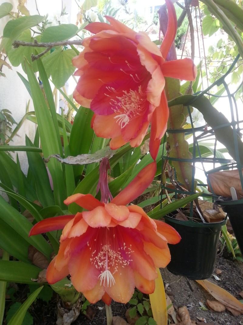Epiphyllum hybride rose, ma merveille dumoment 20140519