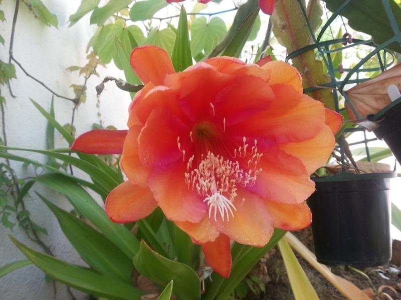 Epiphyllum hybride rose, ma merveille dumoment 20140520