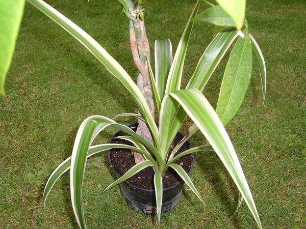 Identification, svp! - Chlorophytum comosum Aaa10