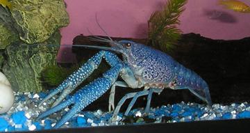 Procambarus alleni (Blue Morph) Nippy310