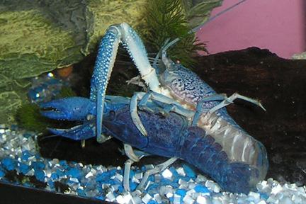 Procambarus alleni (Blue Morph) Nippy_10