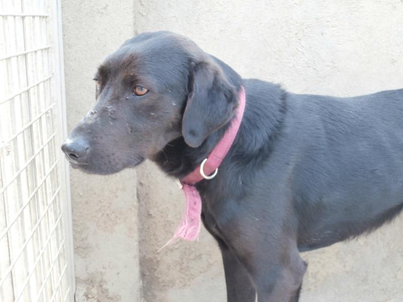 BLACK (mâle croisé labrador) P4020710