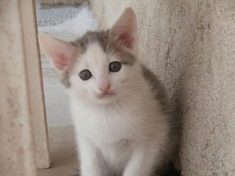 ASTUCE (chaton mâle)gris et blanc réservé P5010919