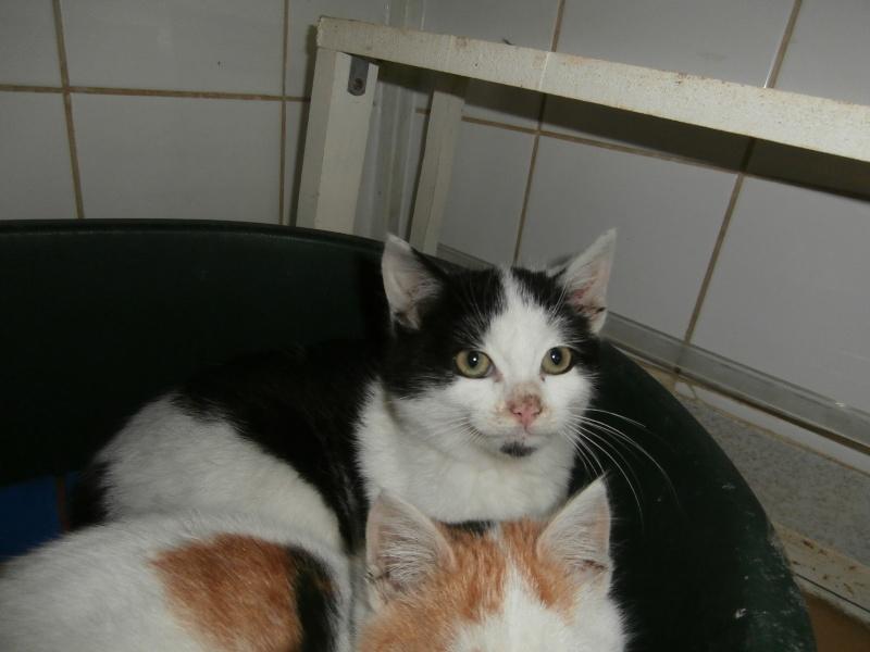 MANDA (chaton mâle noir et blanc) Pc210523