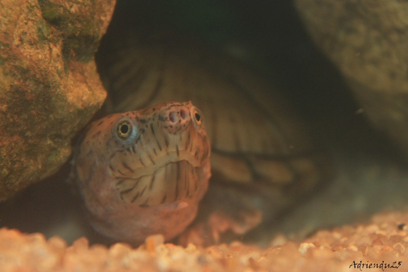 Nouvel aquarium pour les Sternotherus Img_0012
