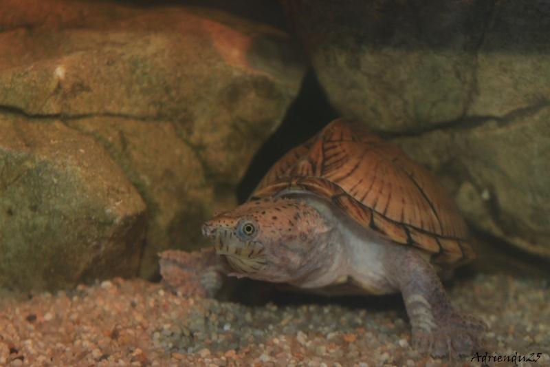 Nouvel aquarium pour les Sternotherus Img_0013