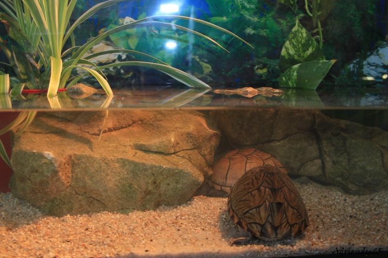 Nouvel aquarium pour les Sternotherus Img_9914