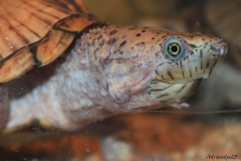 Nouvel aquarium pour les Sternotherus Img_9916