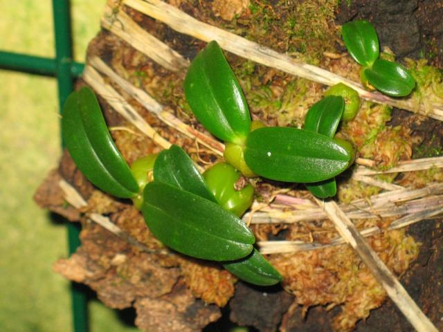 bulbophyllum nutans Img_2814