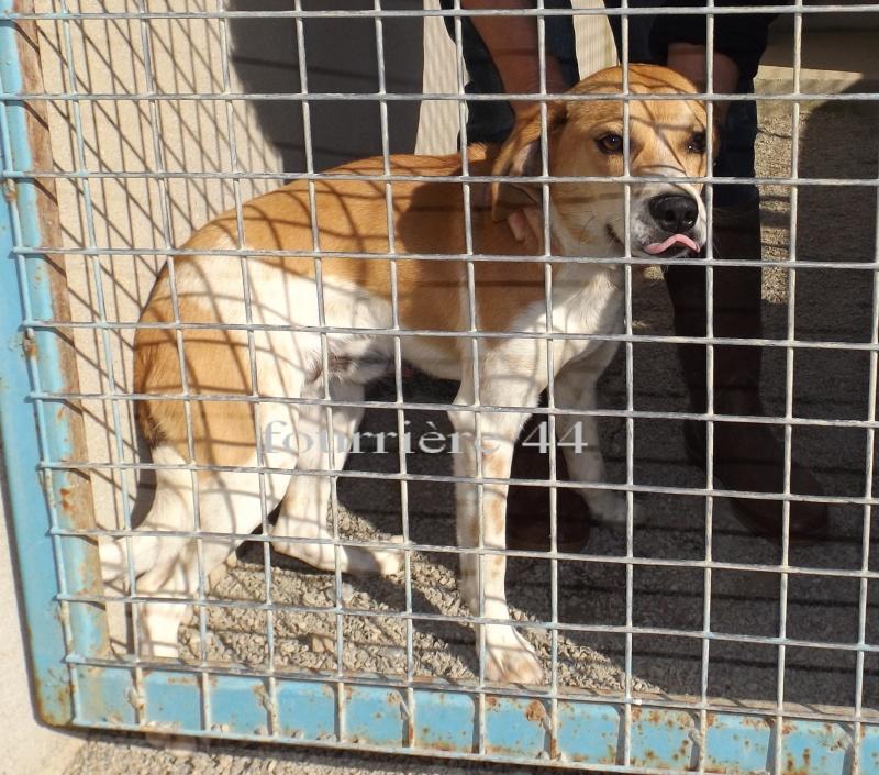 Jeune mâle beagle - Fourrière 44 - délai 02 juin 2014 4f27