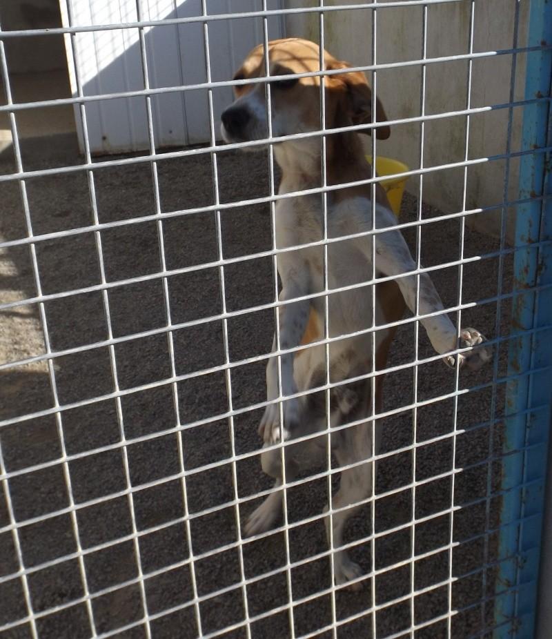 Jeune mâle beagle - Fourrière 44 - délai 02 juin 2014 529