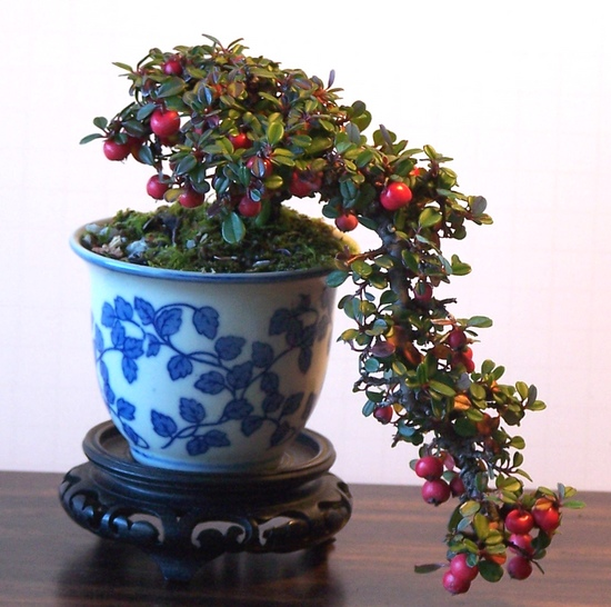 Cotoneaster 11-13_17