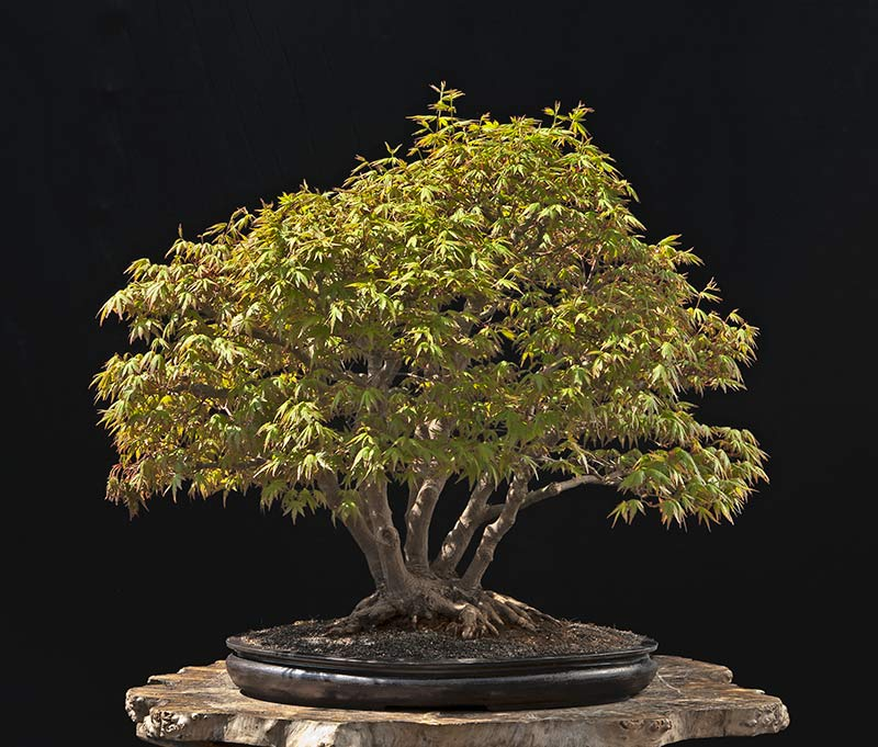 """Refurbishing a Japanese Maple - the """"Hedge Cutting Method"""" - Page 3 2013-020"""