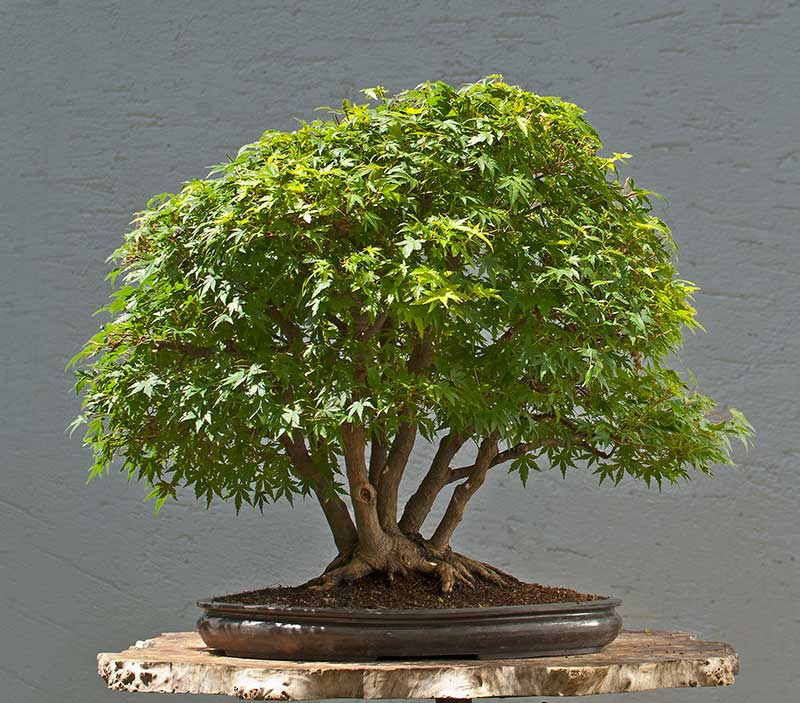 """Refurbishing a Japanese Maple - the """"Hedge Cutting Method"""" - Page 3 2013-021"""