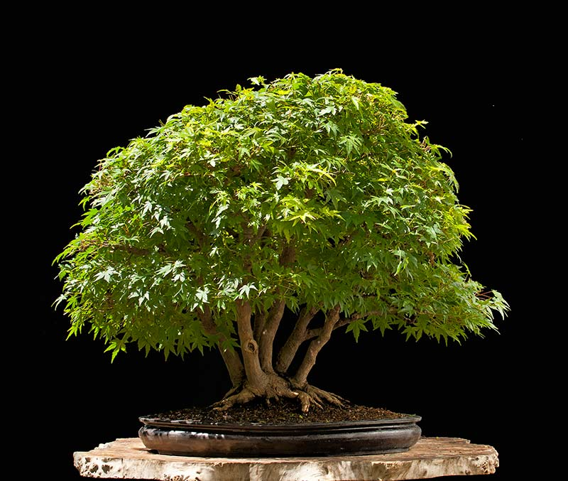 """Refurbishing a Japanese Maple - the """"Hedge Cutting Method"""" - Page 3 2013-022"""