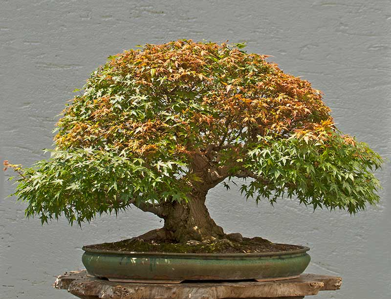 """Refurbishing a Japanese Maple - the """"Hedge Cutting Method"""" - Page 3 2013-023"""