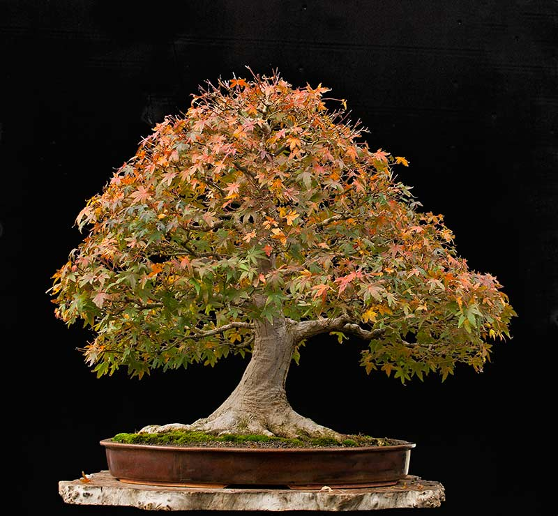 """Refurbishing a Japanese Maple - the """"Hedge Cutting Method"""" - Page 2 2013-110"""