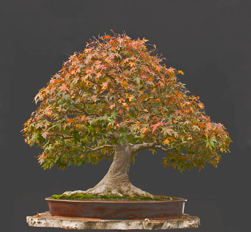 """Refurbishing a Japanese Maple - the """"Hedge Cutting Method"""" - Page 2 2013-111"""