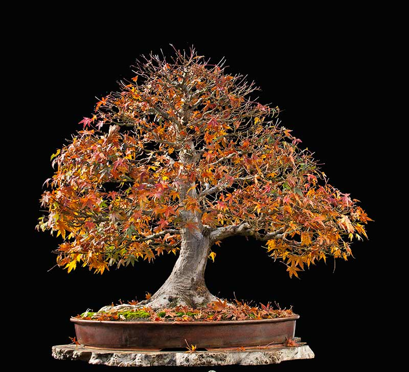 """Refurbishing a Japanese Maple - the """"Hedge Cutting Method"""" - Page 2 2013-112"""