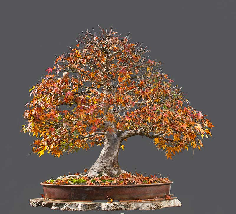 """Refurbishing a Japanese Maple - the """"Hedge Cutting Method"""" - Page 2 2013-113"""