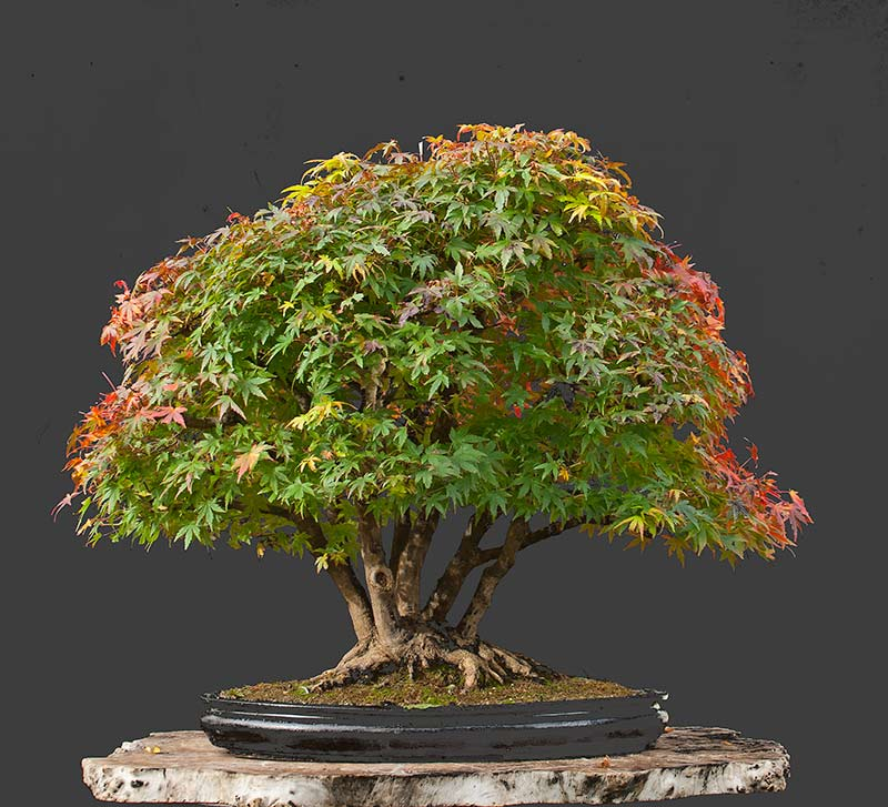 """Refurbishing a Japanese Maple - the """"Hedge Cutting Method"""" - Page 3 2013-115"""
