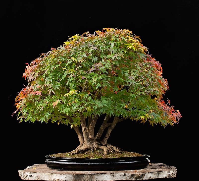 """Refurbishing a Japanese Maple - the """"Hedge Cutting Method"""" - Page 3 2013-116"""