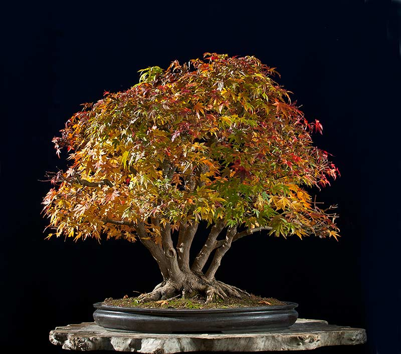 """Refurbishing a Japanese Maple - the """"Hedge Cutting Method"""" - Page 3 2013-120"""