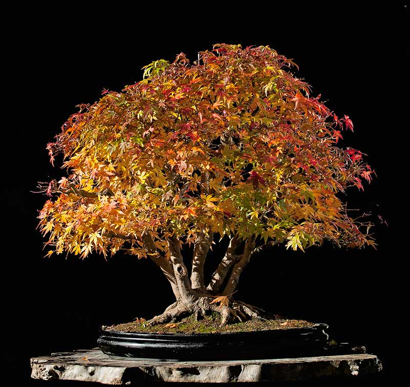 """Refurbishing a Japanese Maple - the """"Hedge Cutting Method"""" - Page 3 2013-122"""