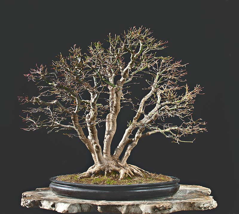 """Refurbishing a Japanese Maple - the """"Hedge Cutting Method"""" - Page 3 2013-124"""
