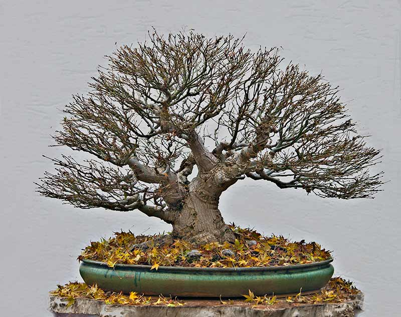 """Refurbishing a Japanese Maple - the """"Hedge Cutting Method"""" - Page 3 2013-128"""