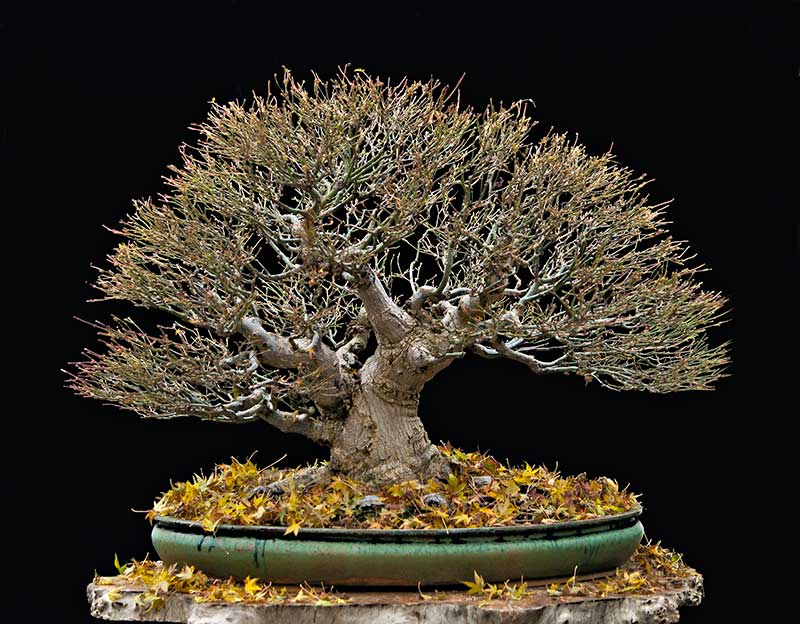"""Refurbishing a Japanese Maple - the """"Hedge Cutting Method"""" - Page 3 2013-130"""
