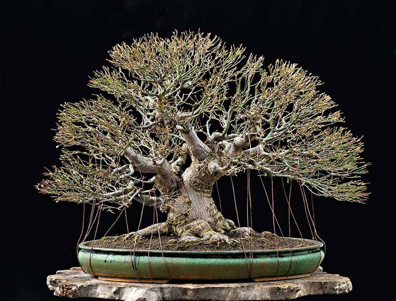 """Refurbishing a Japanese Maple - the """"Hedge Cutting Method"""" - Page 3 2013-131"""