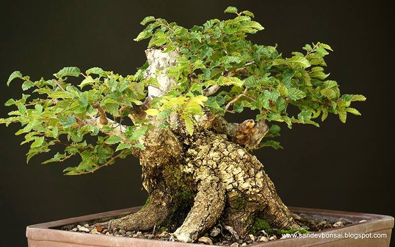 The Fairy Tale Bonsai Style Bild_312