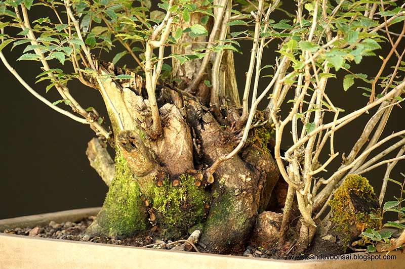 The Fairy Tale Bonsai Style Bild_315