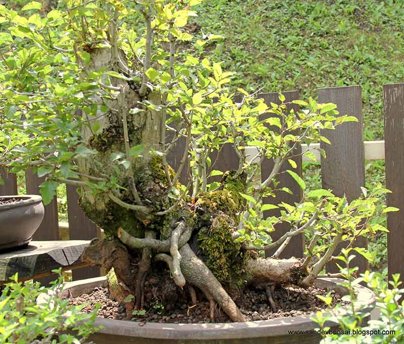 The Fairy Tale Bonsai Style Bild_317