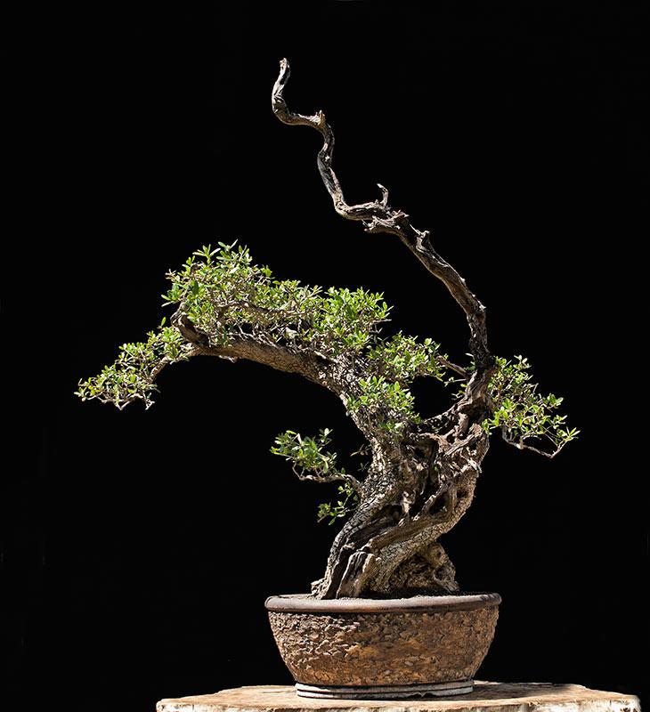 The Fairy Tale Bonsai Style Bild_412