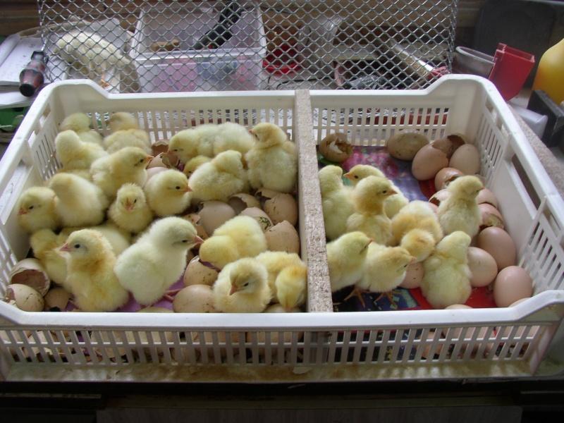 La Gatinaise, standard et variétés Gatina12