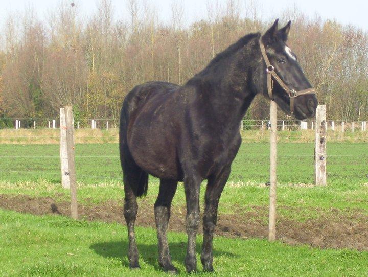Mando Lucero, cruzado PRE, noir, adopté. 14906310