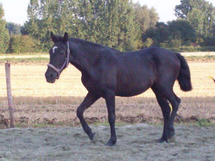 Mando Lucero, cruzado PRE, noir, adopté. 40222_10