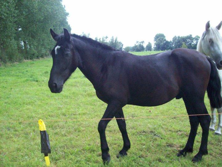 Mando Lucero, cruzado PRE, noir, adopté. 45759_10