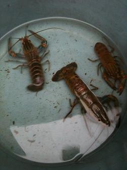 fresh water lobster - crayfish/crawfish