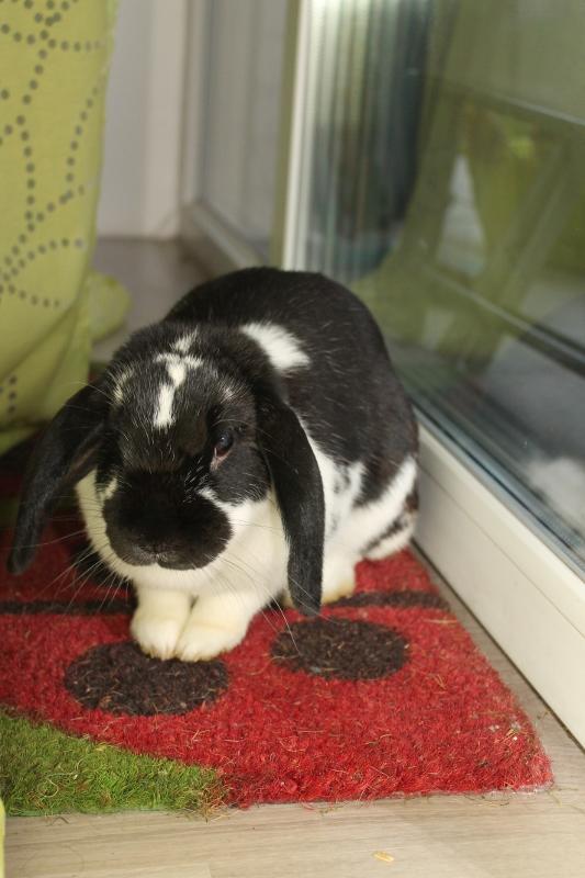 Hermine, lapine bélier, née en 2012 Img_4410