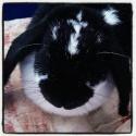 Hermine, lapine bélier, née en 2012 Lapinr10