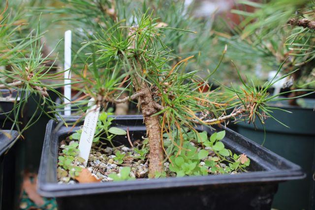 Pinus Banksiana (Jack Pine) Jack210