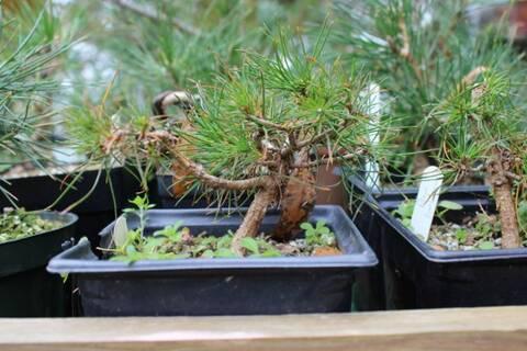 Pinus Banksiana Jack Pine