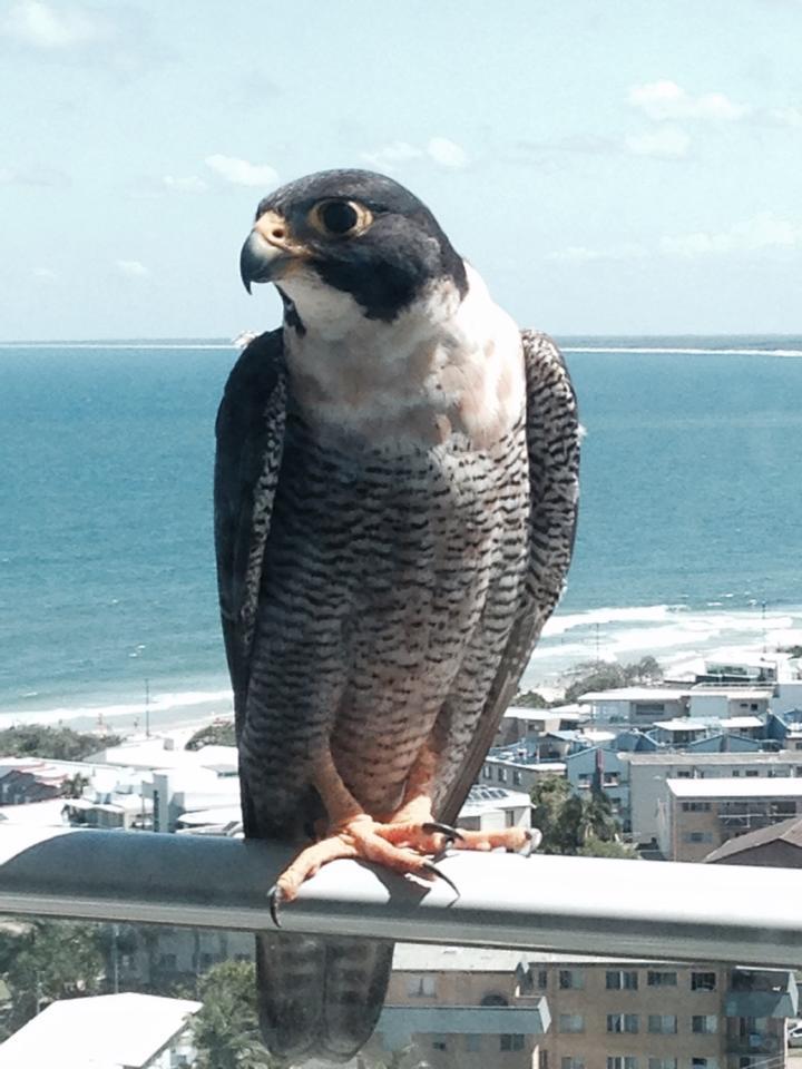 Robyn Hills Falcons 2013 tot en met 2018 - Pagina 2 14806210