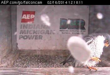 Indiana/Fort Wayne,I-AEP: Jamie(92/D) en Moxie(99/E) 2014 Falco108