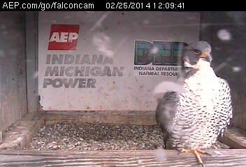 Indiana/Fort Wayne,I-AEP: Jamie(92/D) en Moxie(99/E) 2014 Falco124