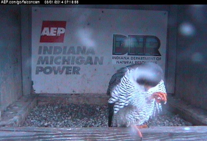 Indiana/Fort Wayne,I-AEP: Jamie(92/D) en Moxie(99/E) 2014 Falco143